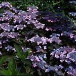 Hydrangea serrate 'Sensuku ku' - Гортензия пильчатая 'Sensuku ku'.