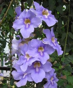 Thunbergia_grandiflora2