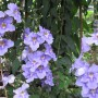 Thunbergia_grandiflora3