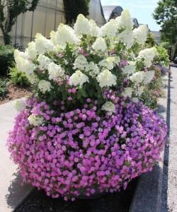 hortensja-bukietowa-bobo-hydrangea-paniculata