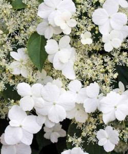large-Hydrangea anomala petiolaris