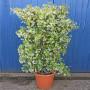original_trachelospermum-jasminoides-on-a-frame