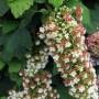 quercifolia Snowflake4