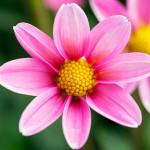 Flowers; Oregon; Swan Island Dahlias; gjc0413d-54178; Dahlia 'Bonne Esperance'