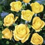 Роза флорибунда Goldquelle