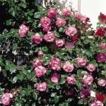 Роза Harlekin   6120