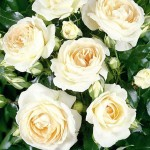 Роза Marie Antoinette