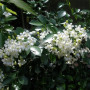 1 Murraya Paniculata