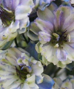 1263_2590_laboheme (1)Delphinium La Boheme