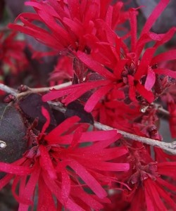 2176-Ever-Red-Sunset-Loropetalum