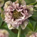 Helleborus or. Double Ellen Pink speckled_03144