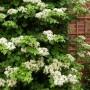 Hydrangea-anomala-ssp.-Petiolaris.-Гортензия-черешковая-2