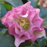 helleborus_orientalis_double_ellen_pink_large