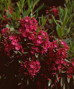 kalmia_angustifolia_purpurflor