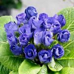 Blue_Parade_6becf82bdd9c1325ce7ed3ce524ac25c