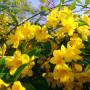 Jasminum-nudiflorum-Жасмин-зимний-2-голоцветковый
