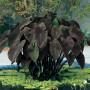 Colocasia 'Black Magic'            49661_1
