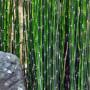 Equisetum_japonicum_3_1024x1024