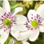 Hepatica nobilis 'White Forest'