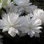 Sanguinaria-canadensis-multiplex-3