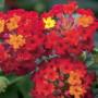 647_LANTANA camara Kolibri Red