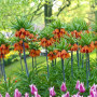 Fritillaria-imperialis-Crown-Imperial4-702x527