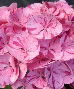 Hydrangea-macrophylla-Sweet-Fantasy-2