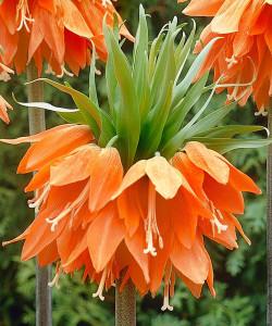 fritillaria_imperialis_aurora_1002757_closeup