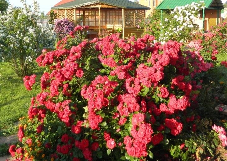Канадские розы Rosa-Champlain-%D0%A0%D0%BE%D0%B7%D0%B0-%D0%A8%D0%B0%D0%BC%D0%BF%D0%BB%D1%8D%D0%B9%D0%BD11