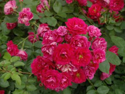 Роза george vancouver