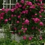 Rosa Henry Kelsey - Роза Генри Кэлси1