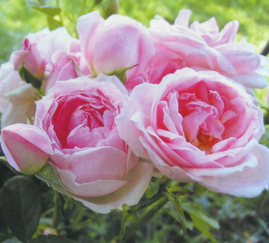 Morden centennial роза купить