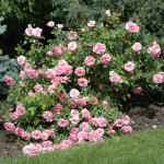 Rosa Morden Centennial - Роза Морден Сентеньял.
