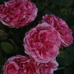 Rosa  Morden Ruby- Роза Модэн Руби ...