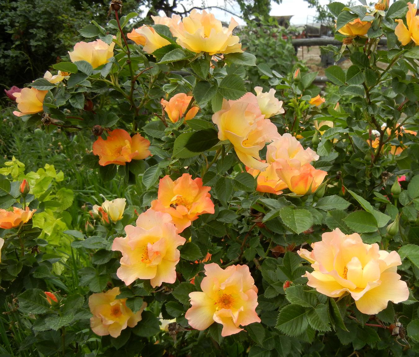 Роза канадская морден санрайз