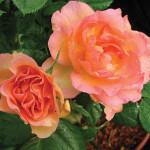 Rosa Morden Sunrise –Роза Модэн Санрайз1-001
