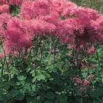 Thalictrum aquilegifolium Purpureum