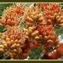 colvillea-racemosa-colvilles-glory-mumbai-bombay