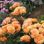 Роза Apricot Clementine-Роза Априкот Клементин