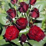 Роза Barkarole-Роза Баркароле