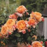Роза Capri - Роза Капри