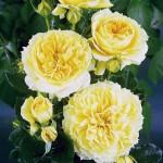 Роза China Girl- Роза Чайна Герл