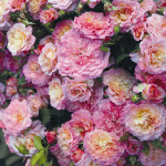Роза Country Girl – Роза  Кантри Герл