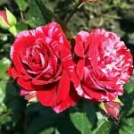 Роза Deep Impression-Роза Дип Импрешн2