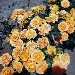 Роза Goldelse-Роза Гольдэльзе
