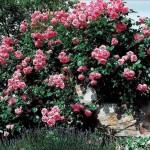 Роза Lawinia- Роза Лавиния