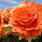 Роза Mandarin-Роза Мандарин