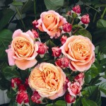 Роза Mary Ann-Роза Мэри Энн
