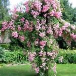 Роза-New-Dawn-Роза-Нью-ДоунSommerset-Rose-Nursey