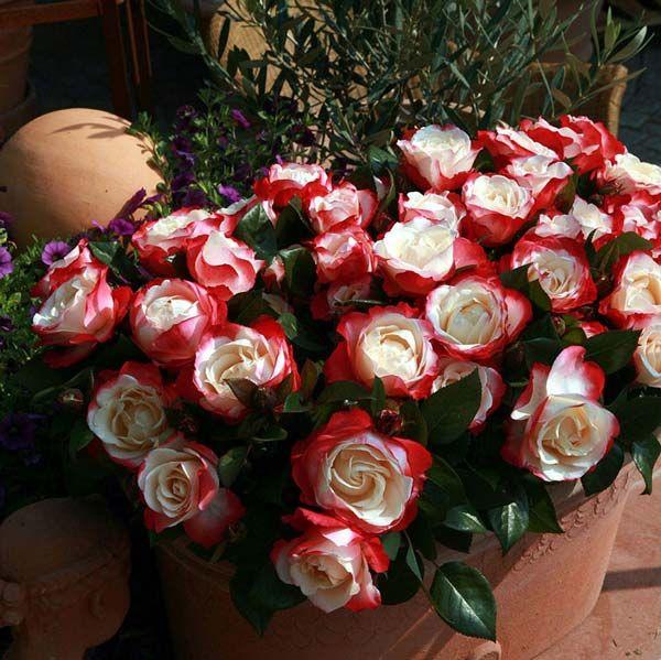 роза ностальжи фото и описание